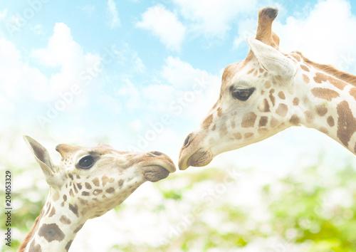 Fototapeta Baby giraffe with lovely mom