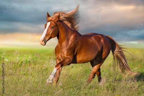Fototapeta Red horse run in green meadow