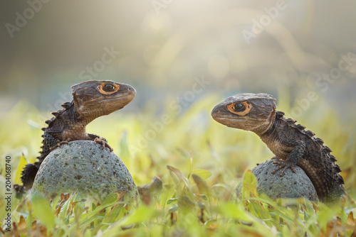 Plexiglas Kikker Crocodile skink, gecko,lizard