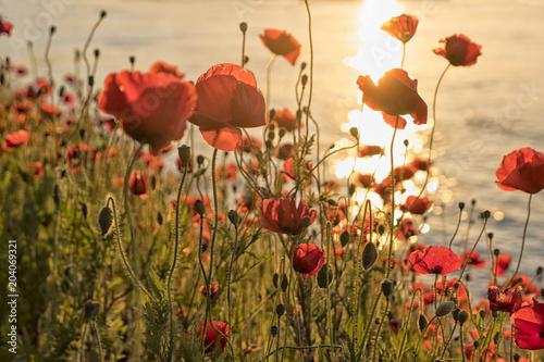 Plexiglas Klaprozen Poppy flowers at sunset