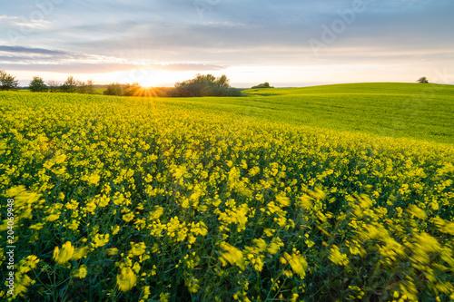 Fototapeta Rapsfeld in Deutschland im Sonnenuntergang