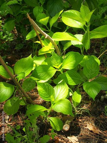 Plexiglas Hydrangea 木漏れ日の中の紫陽花の若葉