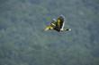Quadro Beautiful Great hornbill ,Big bird in nature