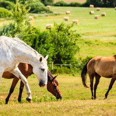 Horses herd on meadow field during summer