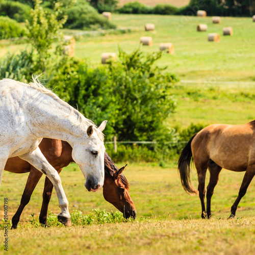 Horses herd on meadow field during summer