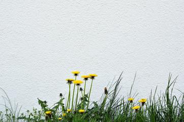 Löwenzahn Butterblume steht vor weißer Wand