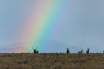 Elk Herd in Front of Rainbow  © Ben