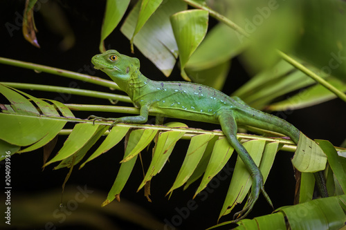 Plexiglas Kameleon Green Basilisk - Basiliscus plumifrons, green lizard from Central America forests, Costa Rica.