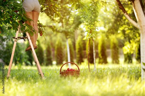 woman picking cherry from cherry tree