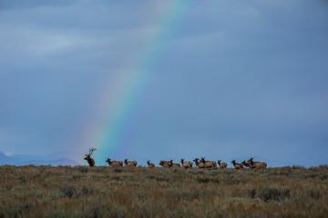 Elk Herd With Rainbow  © Ben