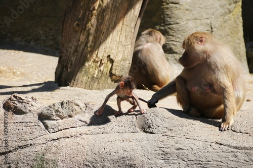 Plexiglas Aap Baboon Mother with her Baby – Hagenbeck – Germany