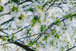 white hawthorn blossoms on tree branches in city park
