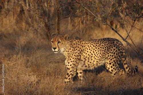The cheetah (Acinonyx jubatus) walking at sunset in the middle of savanna