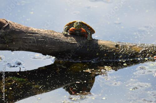 Fototapeta Turtle on a log in the water