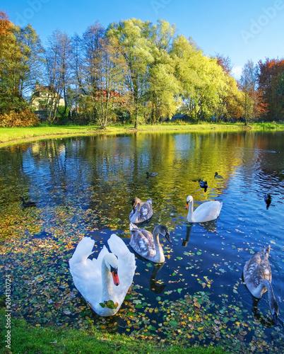 Plexiglas Zwaan White swans swimming on a lake.
