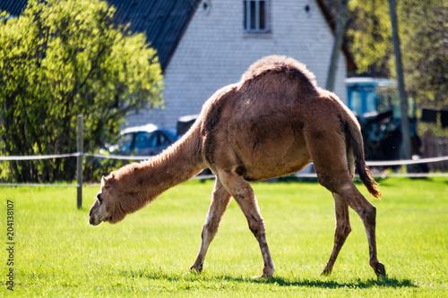 Aluminium Kameel camel walking and feeding in a green field of grass