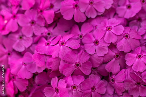 Blüten Teppich Phlox - 204144148