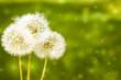 Make a wish. 3 blowballs dandelions on a green field background. Copyspace