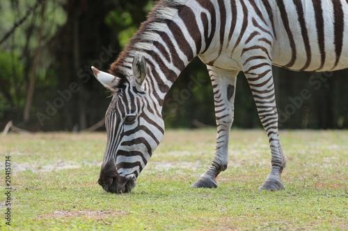 Fototapeta Zebra Grazing