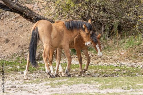 Pair of Wild Horses Fighting in the Desert