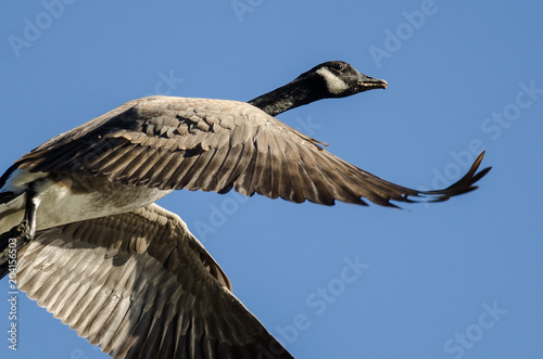 Canvas Canada Lone Canada Goose Flying in a Blue Sky