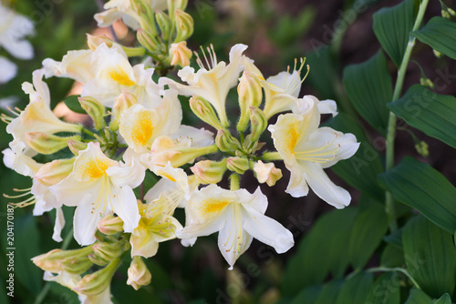 Fotobehang Azalea white and yellow Oxydol rhododendron flowers macro selective focus