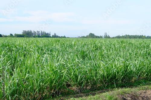 Plexiglas Olijf Sugarcane