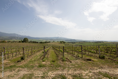 Fotobehang Wijngaard Vineyard in italian countryside. Quality wine in Italy, cultivation and organization of plants. vineyard with regular rows in the Italian countryside. Italian noble wine.