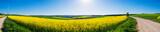 Panorama eines Rapsfeldes im Taunus