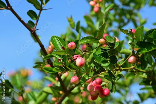 Foto Murales Bengal Currant or Karanda, Carunda, Fruit is healthy.