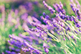 Beautiful lavender closeup with blurred background.A beautiful combination of pastel green and purple shades of lavender.Lavender field in the sunlight, Provence, France - 204228988