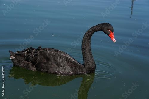 Plexiglas Zwaan Black swan in water