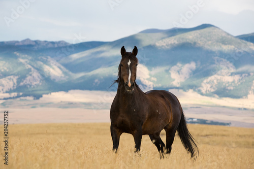 Fototapeta Wild Mustang