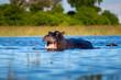 Quadro Hippo on the run on land in the Masai Mara National Park in Kenya (Hippopotamus amphibius)