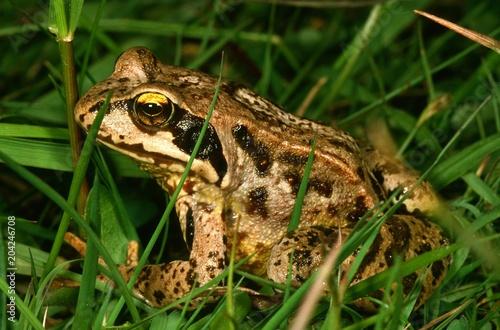Leinwanddruck Bild Grasfrosch im gruenen Gras