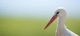 White stork on soft natural background