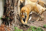 Tiger is walking in a zoo in Thailand.