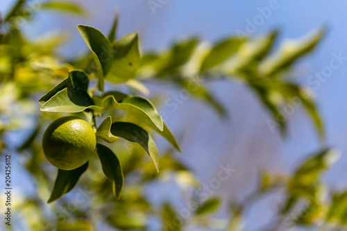 Limequat fruit on the branches of the tree