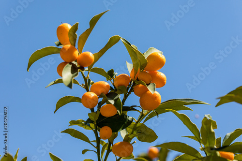 Orange ConquatLimequat fruit on the branches of the tree