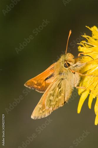 Plexiglas Vlinder Macrofotografia di un insetto Argynnis paphia