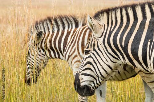 Fototapeta Plains Zebras