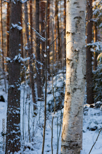 Tree trunks at winter forest in sunset light