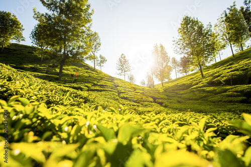 Plexiglas Geel 'Selective focus' Beautiful expanse of green tea plantations at sunset, grown in terraces on the hills of Darjeeling. India.