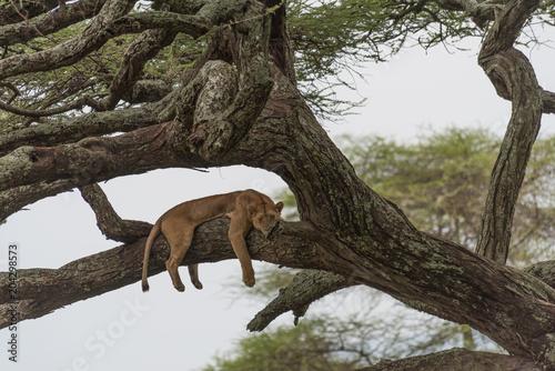Fotobehang Lion Just Hanging Around!