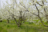 Flowering white plum. Plum branches covered with flowers. - 204299748