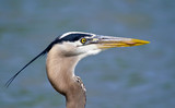 Portrait of Great Blue Heron bird (Ardea herodias) by a lake. Close-up with copy space.
