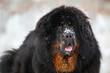 Beautiful dog breed Tibetan mastiff on a nature background.