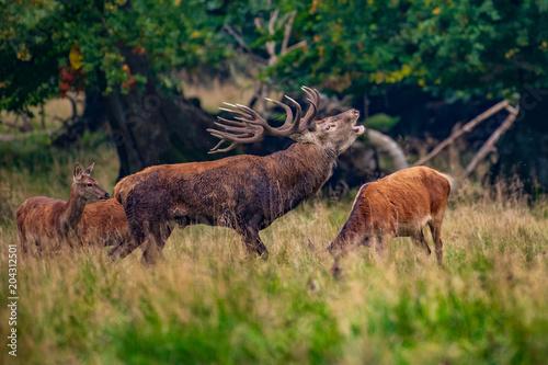 Fotobehang Hert Portrait of majestic powerful adult red deer stag in Autumn Fall forest (Cervus elaphus)