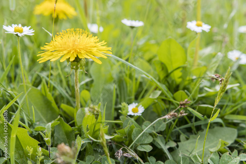 Fototapeta Dandelions growing in the grass.