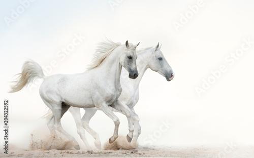 Fotobehang Paarden White stallions running gallop